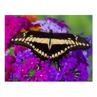 Carte Postale Sammamish, papillon tropical 36 de Washington