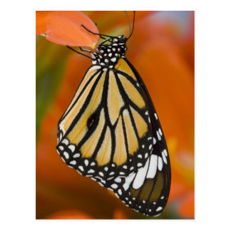 Carte Postale Sammamish, Washington. Papillons tropicaux 2