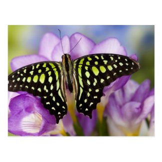 Carte Postale Sammamish, Washington. Papillons tropicaux 44