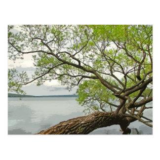 Carte Postale Saule au lac Cayuga
