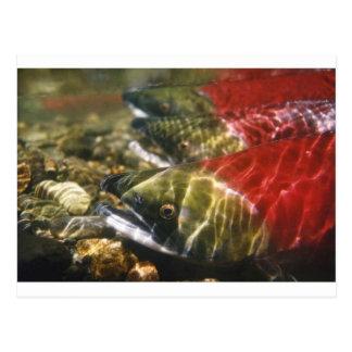 Carte Postale Saumon de saumon rouge