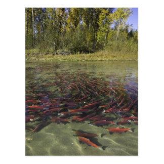 Carte Postale Saumon de saumon rouge rouge fraisant dans le