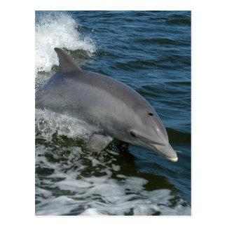Carte postale sauvage de dauphin