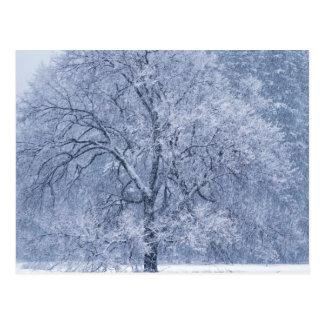 Carte Postale Scène congelée par hiver d'arbre de Milou