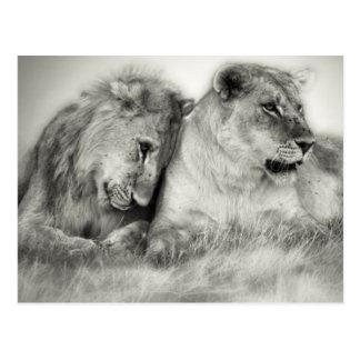 Carte Postale Séance et nuzzlingin Botswana de lionne et de fils