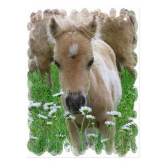 Carte postale sentante de marguerites de poulain
