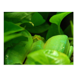 Carte Postale serpent vert de python d'arbre