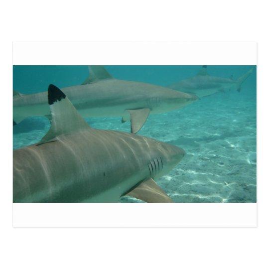 Carte Postale shark