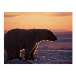 Carte Postale Silhouette d'ours blanc, lever de soleil, banquise