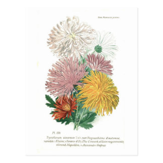 Carte Postale Sinense de pyrèthre (chrysanthème)
