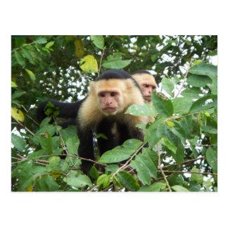 Carte Postale Singes de capucin