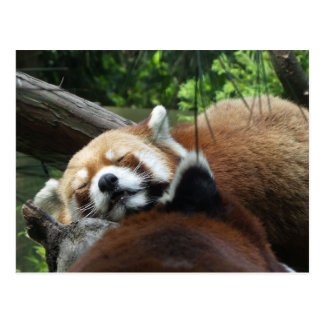 Carte Postale Sommeil de panda rouge
