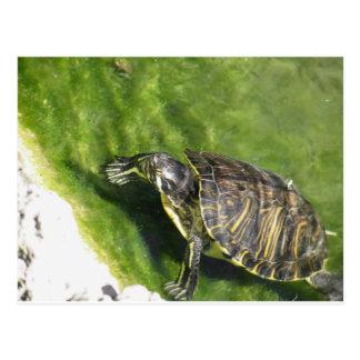 Carte Postale Sortir aquatique de tortue de l'eau