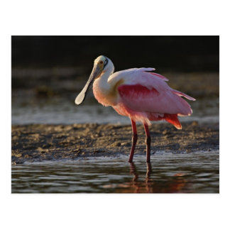 Carte Postale Spatule rose, ajaja d'Ajaia, chouchou de tintement