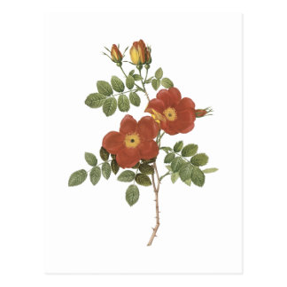 Carte Postale sweetbriar s'est levé (eglanteria de Rosa) par