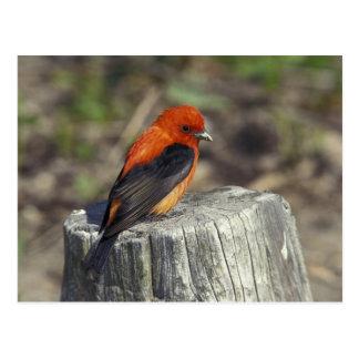 Carte Postale Tanager d'écarlate masculin dans le plumage
