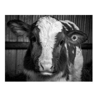 Carte Postale Taureau jeune de jeune laiterie du Holstein en