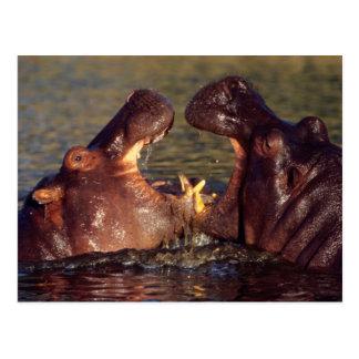 Carte Postale Taureaux d'hippopotame (hippopotame Amphibius)