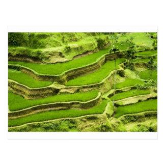 Carte Postale Terrasse de riz dans Bali