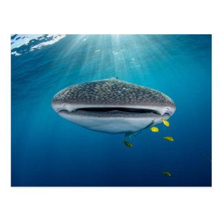 Carte Postale Tête d'un requin de baleine