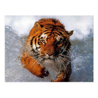 Carte Postale tiger products