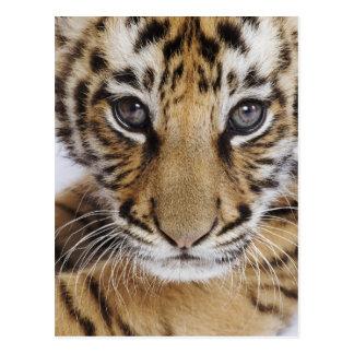 Carte Postale Tigre CUB (bébé de 2 mois)
