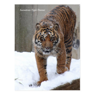 Carte Postale Tigre Damai de Smithsonien | Sumatran