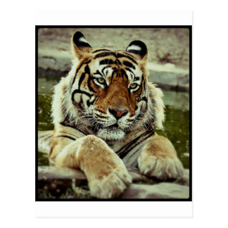 Carte Postale Tigre de Bengale