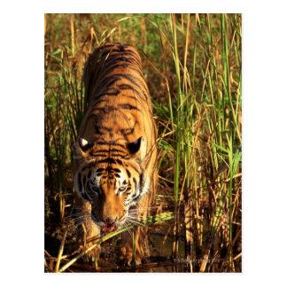 Carte Postale Tigre de Bengale dans les marécages