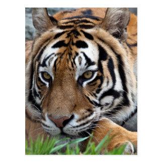 Carte Postale Tigre de Bengale dans l'herbe
