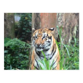 Carte Postale Tigre de Bengale, Inde