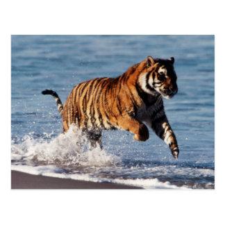 Carte Postale Tigre de Bengale (Panthera Tigre)