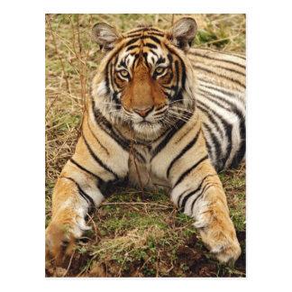 Carte Postale Tigre de Bengale royal, parc national de