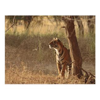 Carte Postale Tigre de Bengale royal sur le regard pour la
