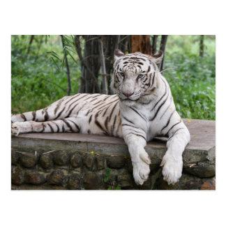 Carte Postale Tigre de blanc du Bengale