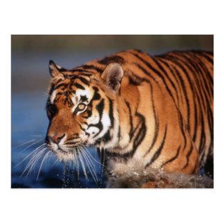 Carte Postale Tigre de l'Inde, Bengale (Panthera Tigre) 2