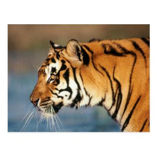 Carte Postale Tigre de l'Inde, Bengale (Panthera Tigre) 4