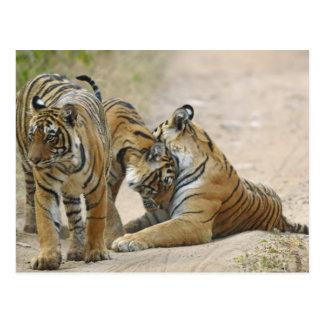 Carte Postale Tigre et jeunes de Bengale royaux ceux - touchant