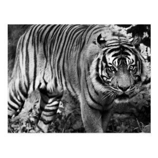 Carte Postale Tigre fâché