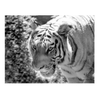 Carte Postale Tigre rayé sauvage noir et blanc