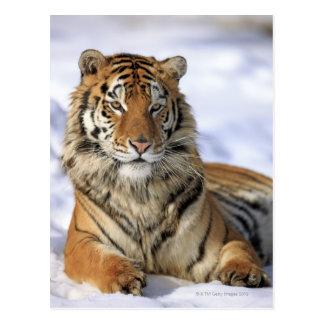 Carte Postale Tigre sibérien, altaica du Tigre de Panthera,