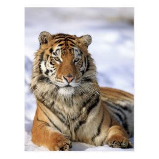 Carte Postale Tigre sibérien, altaica du Tigre de Panthera, Asie