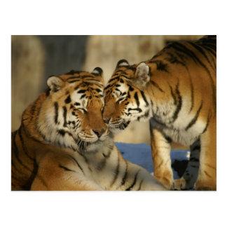 Carte Postale Tigres affectueux
