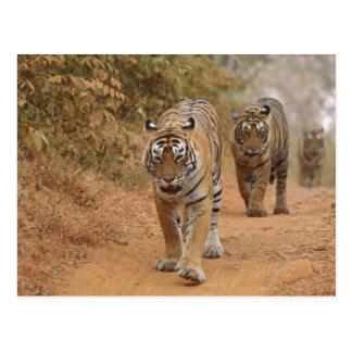 Carte Postale Tigres de Bengale royaux marchant le long de la