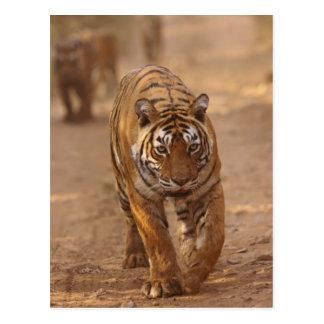 Carte Postale Tigres de Bengale royaux sur la voie, Ranthambhor