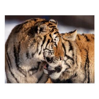 Carte Postale Tigres montrant l'affection