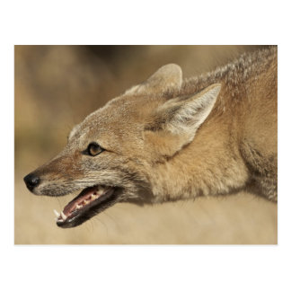 Carte Postale Torres del Paine, Chili. Fox gris Patagonian,