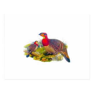 Carte Postale Tragopan de Blyth ou Tragopan Grayed-gonflé