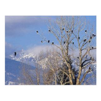 Carte Postale Treeful des aigles chauves s'approchent de