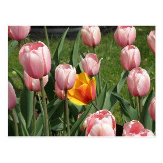 Carte Postale Trésor de tulipe